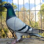 Figorena - Sire; Klien Figo, sire of 1st National LeMans 99,104 birds. Olympiad Pigeon All Around Porto. 1st Provincial Ace Pigeon Middle distance. She has already bred 2 x 1st prize winners at 350 miles in One loft races. Also 1st, Prize 350 Eastern Washington & Oregon combine.