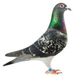 Dino - 5th Ace pigeon 5800 birds Portugal Golden Algarve and 7th prize final race. Dam of multiple 1st prize winners and Ace pigeons out to 350 miles in one loft races in the USA.