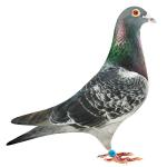 Konbird (g')sire of 42 x 1st prize, 1st Ace pigeons and top 10 in one loft race competition all across the USA, Africa, and Portugal. Foundation cock of Ken Easley & Son Racing.