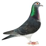 Dark Grizz - sire of winners in OLR USA. Son of Rene 5th prize final SAMDPR and Dino 5th Ace pigeon and 7th final Algarve Golden Race 5800 birds.